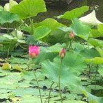 蓮の花が見ごろです